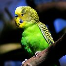 Budgerigar by Lance Leopold