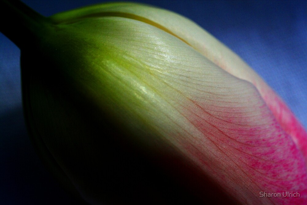 Tulip Series 2 by Sharon Ulrich