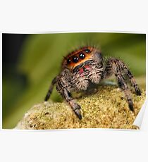 A cute Jumping spider Poster