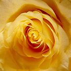 Heart of a Yellow Rose by Shulie1