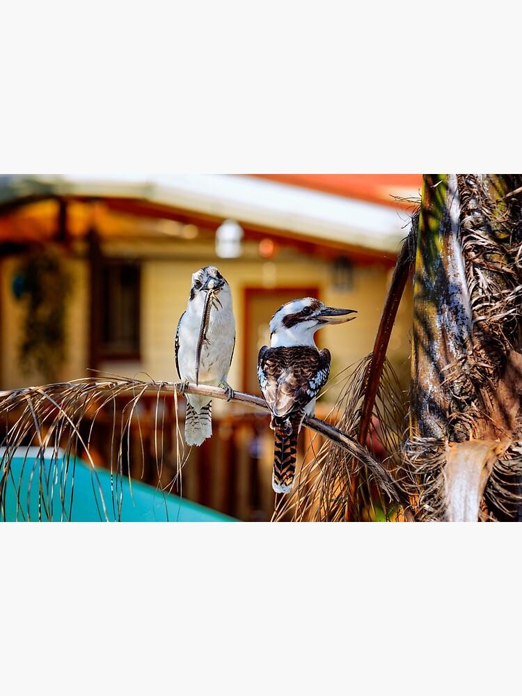 kookaburras by fardad