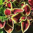 Coleus Sunbathing by BlueMidnight