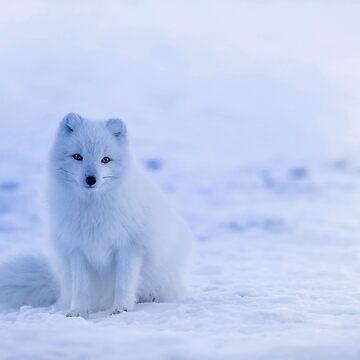 Arctic Fox by Goshadron