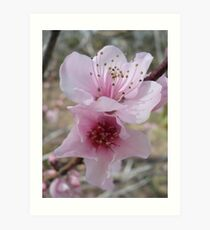 Plum Blossoms Art Print