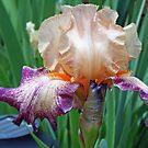 Iris Beauty by kkphoto1