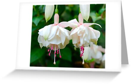 Fuschia Ladies #2 by Penny Smith