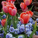Tulips and Pansies by Marjorie Wallace
