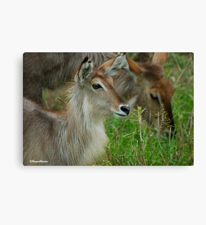 UP CLOSE - THE WATERBUCK - Kobus ellipsiprymnus Canvas Print