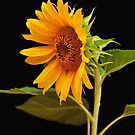 Golden Sunflower by Claire  Farley