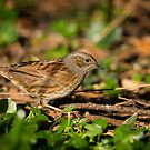 Dunnock searching for food, County Kilkenny, Ireland by Andrew Jones