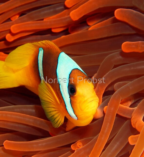 Red Sea Nemo by Norbert Probst