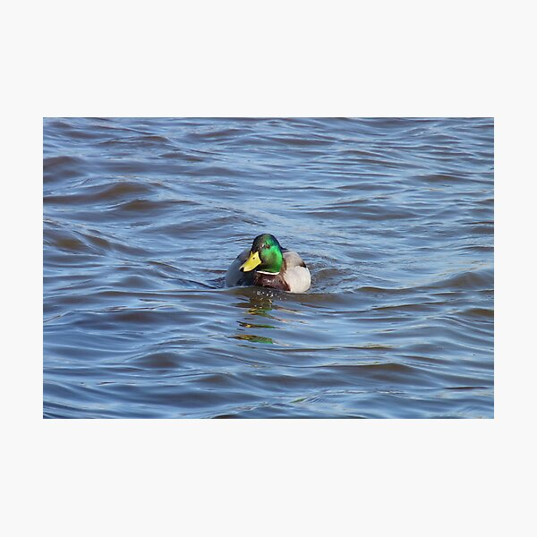 Swimming Duck Photographic Print