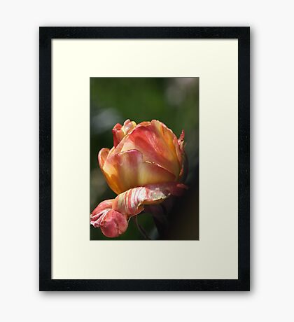 Variegated Orange Rose Framed Print