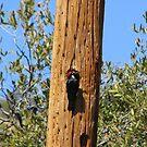 Acorn Woodpecker by Sherry Pundt