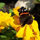 Red Admiral Butterfly on Black Eyed Susan by coribeth