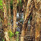 Paper Bark Trees (Melaleuca quinquenervia) by W E NIXON  PHOTOGRAPHY