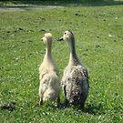 Indian Runner Ducklings by imphavok