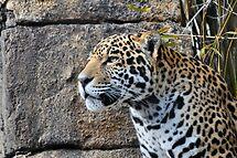 jaguar  by Aaron Siebens