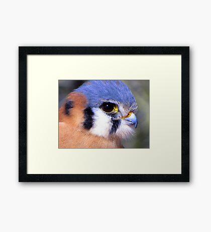 American Kestrel ~ Profile, Up Close Framed Print