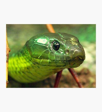 Australian Tiger Snake Photographic Print