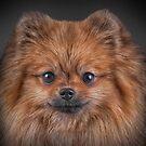 Drawing Dog Pomeranian Spitz  by bonidog