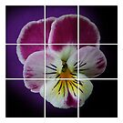 Partitioned Pansy by DebiDalio