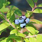 Wild Blueberries by hummingbirds