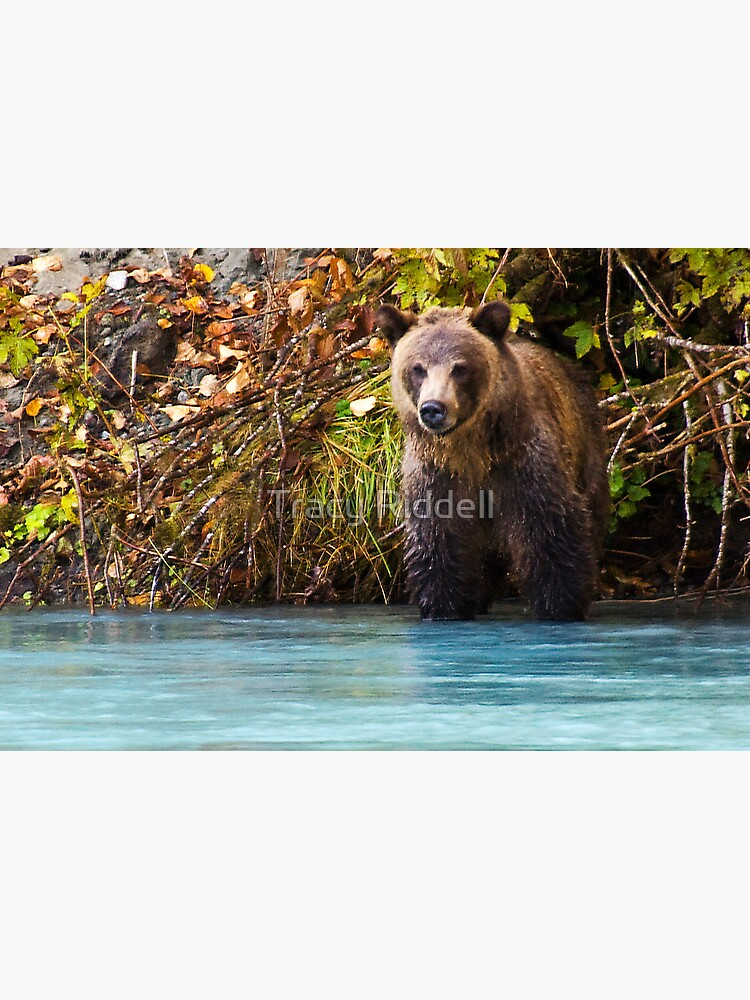 Grizzly Bear by taos