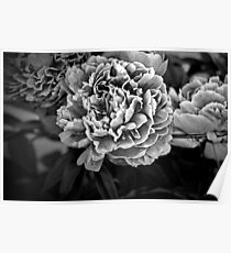 Peonies in Black Poster