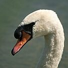 Mute Swan by Tracey  Dryka
