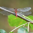 sunning dragonfly by tos42