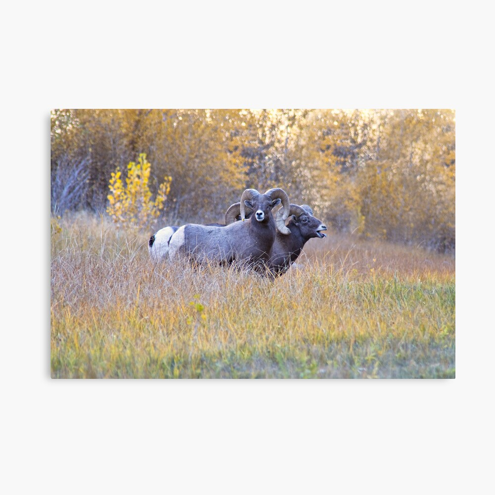 Bighorn Rams Calling Canvas Print