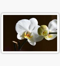 White orchid (Phalaenopsis) Sticker
