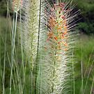 Amazing colourful Grass Flowers by sunrisecoast