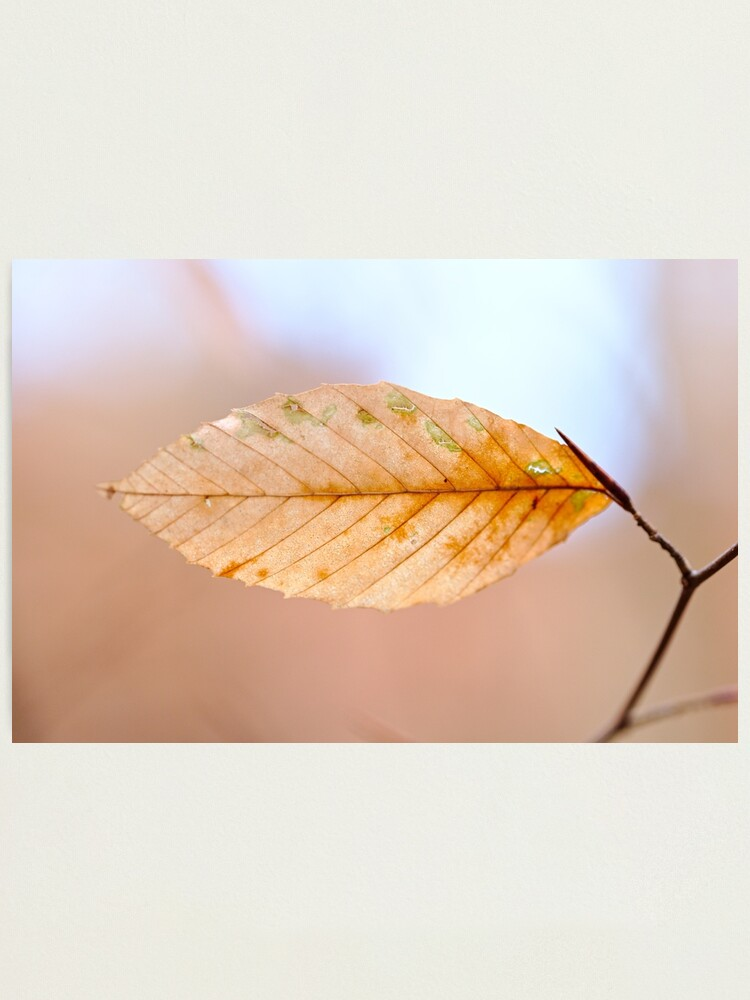 Alternate view of Beech Leaf: I Photographic Print