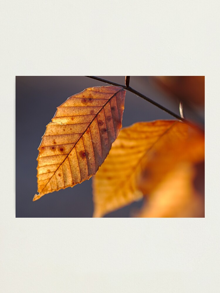 Alternate view of Beech Leaf: II Photographic Print