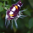 Wingspan - Common Eggfly Butterfly by Jenny Dean