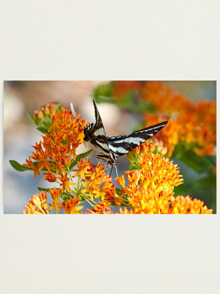 Alternate view of Zebra Swallowtail Photographic Print