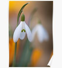 Graceful Galanthus Poster