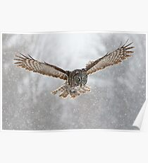 Great Gray Owl flying in snowstorm Poster