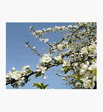 plum tree blossoms Photographic Print