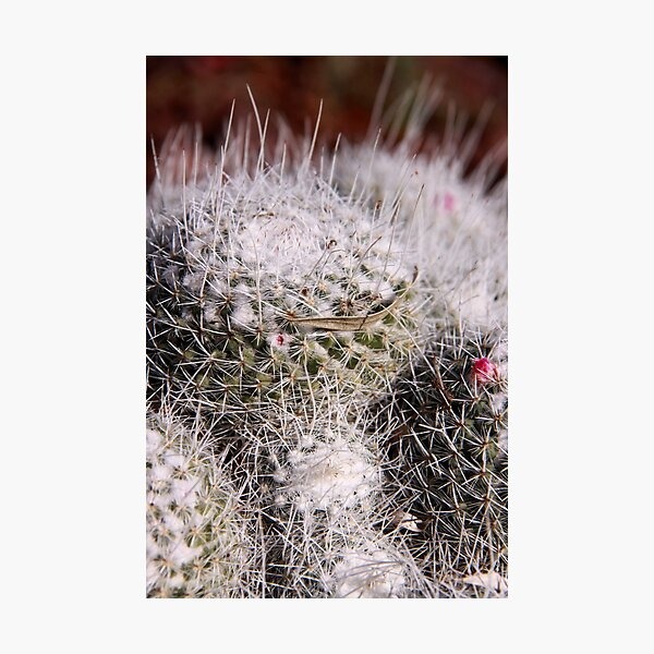 Frosted Mini Cacti Photographic Print