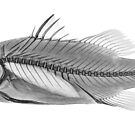 Barramundi Fish by Paul CESSFORD