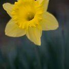 Daffodil Portrait by MattGrover