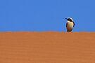 Wheatear on Dune by David Clark
