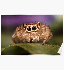 cute jumping spider Poster