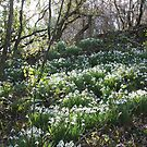 Snowdrops in Cornish Woodland by winterhare