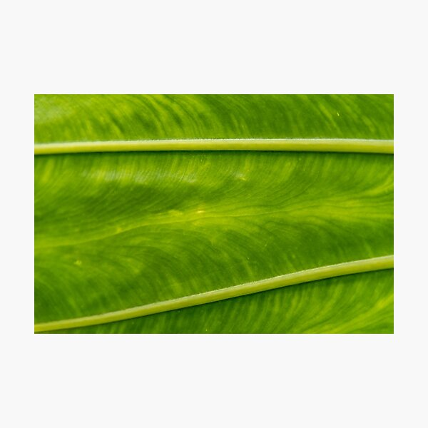 Closeup of an Elephant Plant Leaf Photographic Print