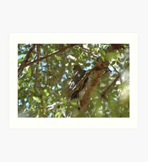 Female Collared Sparrowhawk / Accipiter cirrhocephalus Art Print