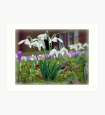 Snowdrops in the Sunshine Art Print